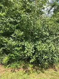 bradford pear pyrus calleryana chasing trees
