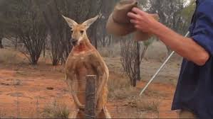 Roger A Barnes Roger The Musclebound Kangaroo Is Back And It Looks Like He U0027s Been
