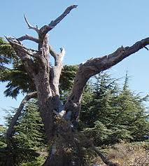 What Tree Is On The Lebanese Flag The Cedars Of Lebanon Field Notes North Coast Journal