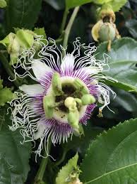 growing granadillas in your garden angela u0027s backyard farming