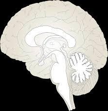 Image Of Brain Anatomy Free Vector Graphic Brain Anatomy Human Medicine Free Image