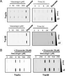 the polyphenolic ellagitannin vescalagin acts as a preferential