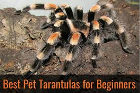 the 25 best pet tarantula ideas on pinterest tarantula facts