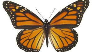 how to tell the gender of a butterfly animals me