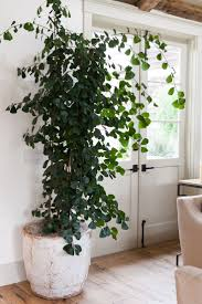 17 best indoor plant images on pinterest houseplants indoor