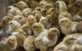 the short brutal life of male chickens al jazeera america