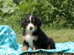 american eskimo dog omaha bernese mountain dog puppies for sale greenfield puppies