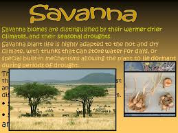 Tropical Savanna Dominant Plants - grassland biomes are unaltered areas of land where grass is the