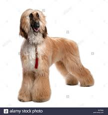 afghan hound young brown grommed afghan hound 1 year old in front of a white