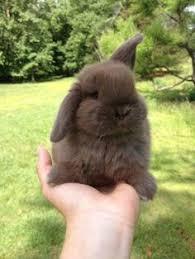 holland lop bunny pets holland lop bunnies