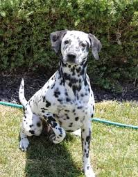 dalmatian breed information history health pictures