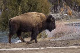 100 bison travel in yellowstone national park map mini and