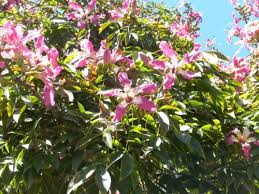 Trees With Pink Flowers Floss Silk Tree