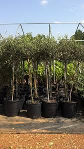 the 25 best arbequina olive tree ideas on olive seeds