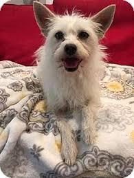 affenpinscher maltese mix chihuahua maltese mix dog maltese pinterest maltese dog and