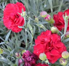 Sweet William Flowers How Do You Propagate Dianthus Carnation Or Sweet William