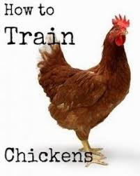 How To Raise Backyard Chickens For Eggs Raising Chickens 101 Collecting Cleaning And Storing Chicken