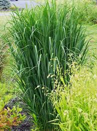 36 best plantas images on ornamental grasses plants