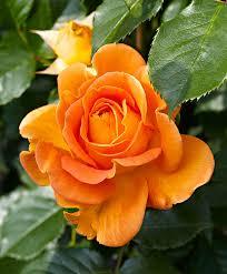 buy climbing rose u0027jamie u0027 bakker com