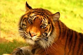tisch family zoological gardens help save the sumatran tiger globalgiving