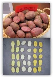 sustainability free full text effect of organic potato farming