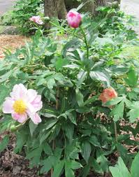 Patio Tree Rose by Herbaceous Understock Sprouted On Tree Peonies Id And Removal