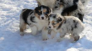 south dakota australian shepherd stonger miniature and standard aussies miniature and standard