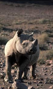 african rhinos wwf