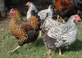 chicken breeds silver laced wyandotte with the chicken tips