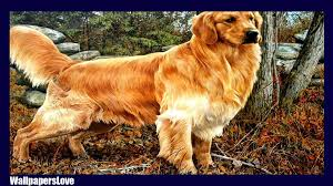 Wallpaper Dog Golden Retriever Wallpaper Android Apps On Google Play