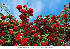 roses rose gardens free stock photos download 5 118 free stock