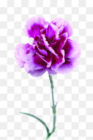 purple carnations purple carnations png images vectors and psd files free