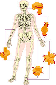 joints in the human body the human body human body and body joints