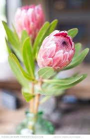 wedding flowers johannesburg the 45 best images about protea obsession on desert