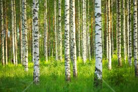 birch wallpapers earth hq birch pictures 4k wallpapers