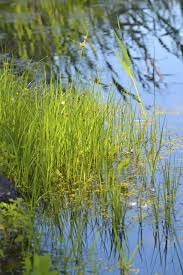 australian native aquatic plants how to kill bulrushes u2013 tips for control of bulrush plant weeds