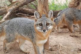 gray fox u2014 wildlife science center