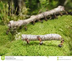 ants stock photos images u0026 pictures 8 106 images