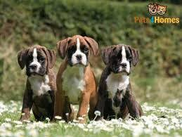 boxer dog origin 84 best boxer dog images on pinterest boxers boxer dogs and search