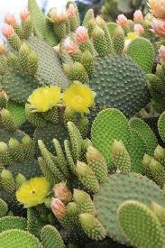 Awesome Looking Flowers Best 25 Cactus Flower Ideas On Pinterest Desert Flowers