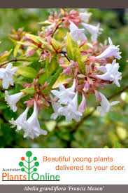 gondwana wholesale native plant nursery australia 12 best our medium sized shrubs images on pinterest plants