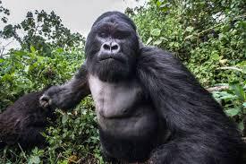 in photos u0027drunk u0027 mountain gorilla punches wildlife photographer
