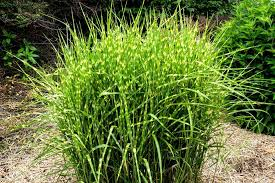 12 ornamental grasses that will stop traffic