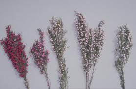 native plants western australia growing boronia in western australia agriculture and food