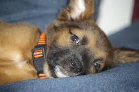 belgian sheepdog houston tx hello from florida german shepherd dog forums