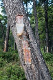 bags attached to a pine tree collecting the resin royalty free