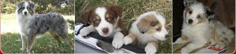 australian shepherd puppies near me dobson dogs u2013 australian shepherd dog breeder in southeast iowa