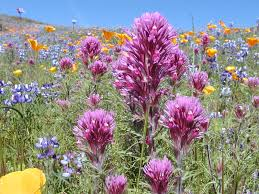 Table Mountain Oroville Ca Wildflower Tours Scheduled At North Table Mountain Ecological