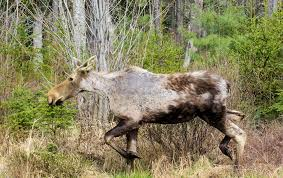 what u0027s a ghost moose how ticks are killing an iconic animal