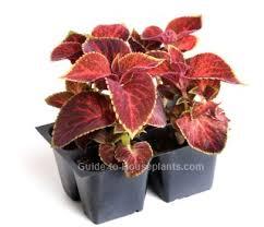 How To Grow Coleus Plants by Growing Coleus Plant Indoors Coleus Blumei Pictures Care Tips